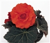 Begonia TubN/S Mocca Dp Orange