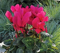 Cyclamen Sierra Sync.Dp Rose