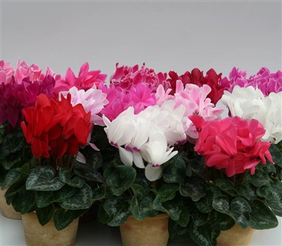 Cyclamen Matrix Mix_disc