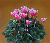 Cyclamen Chalice Pink Bicol