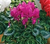 Cyclamen Sierra Sync. Purple