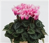 Cyclamen Picola Shine Dp Rose