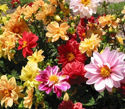 Dahlia Unwins Ideal Bedding Mi