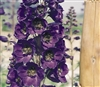 Delphinium P.G. Black Knight