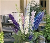 Delphinium Pacific Giant Mix