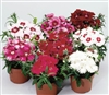 Dianthus Diana Mix Pellets