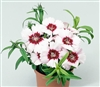 Dianthus Diana Purp ctr Whi