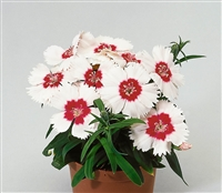 Dianthus Diana Red ctr Whi
