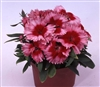Dianthus Diana Scarlet Pic