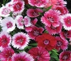 Dianthus Persian Carpet OP