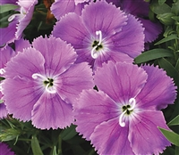 Dianthus Diana Blueberry Pelle