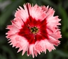 Dianthus Sup Parf Strawberry Pellets