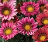Gazania Kiss Rose
