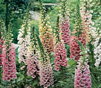 Digitalis Foxy Mix
