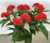 Celosia Act Deep Orange