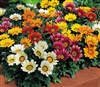 Gazania Kiss Mix