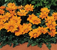 Gazania Kiss Orange