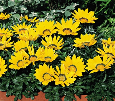 Gazania Kiss Yellow