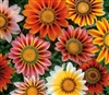 Gazania Sunshine Hybrids Mix