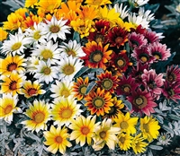 Gazania Talent Mix