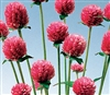 Gomphrena Audray Pink