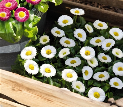 Bellis Peren.Speedstar WhitPel