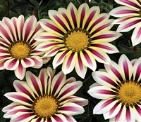 Gazania Big Kiss White Flame