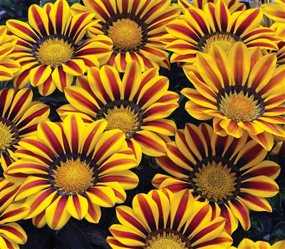 Gazania Big Kiss Yellow Flame