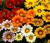 Gazania Big Kiss Mix