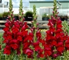 Antirrhinum Opus Red