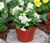 Begonia Fairyland White Pellet