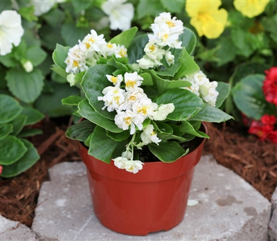 Begonia Fairyland White Pellet_disc