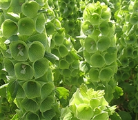 Moluccella Country Bells
