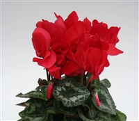 Cyclamen Contiga Red