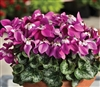 Cyclamen Umbrella Purple