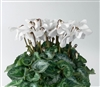 Cyclamen Umbrella White