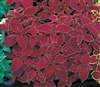 Coleus Fairways Red Velvet
