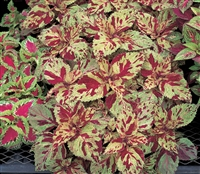 Coleus Fairways Mosaic