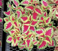 Coleus Fairways Rose