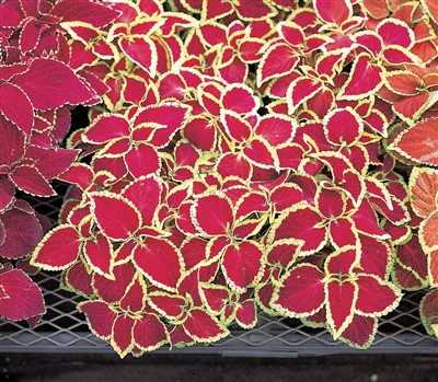 Coleus Fairways Ruby