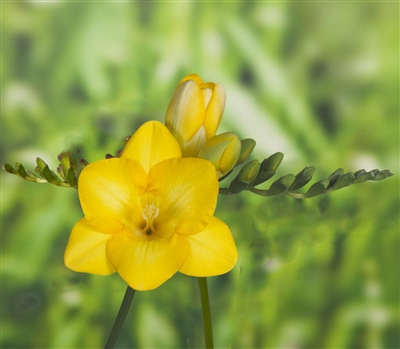 Freesia Royal Champ. Yellow