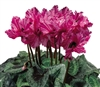 Cyclamen Frizelia Striata_disc