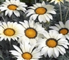 Gazania Kiss Frosty White