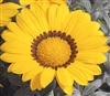 Gazania Kiss Frosty Yellow