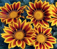Gazania Kiss Golden Flame