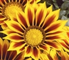 Gazania Kiss Yellow Flame