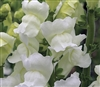 Antirrhinum Opus Early White