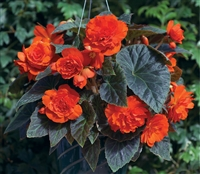 Begonia Tub GoGo Orange Pellet