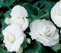 Begonia Tub GoGo White