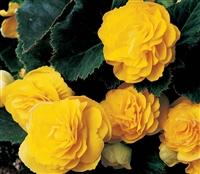 Begonia Tub GoGo Yellow